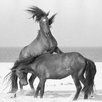 wild horses of Sable Island ContemporaryPhotography