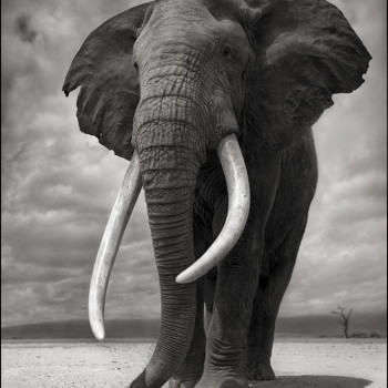 Portrait of Elephant, Nick Brandt