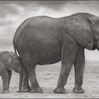 Brandt Elephant Mother with Baby African Elephant black and white photograpy