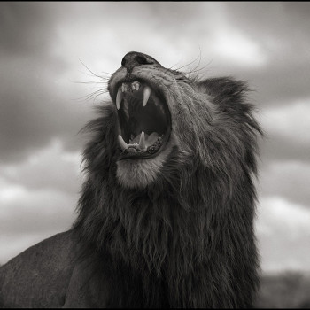 Lion Roar, Nick Brandt