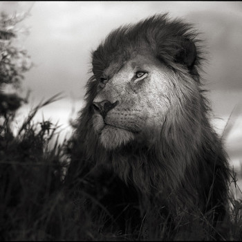 Brandt black white photography African wildlife Lion in Shaft of Light Photo