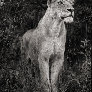 Lioness Against Dark Foliage Nick Brandt