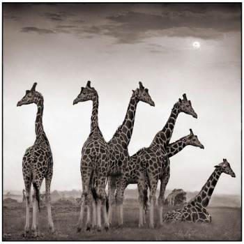 Giraffe Fan, Nick Brandt