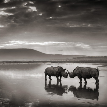 Rhinos on Lake, Nick Brandt