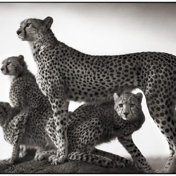Brandt, Cheetahs, sun valley art gallery