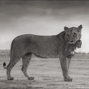 Lioness holding cub in mouth by brandt nick, svga, platinum edition prints,AP