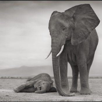 Nick Brandt elephant images, Trilogy, buy prints
