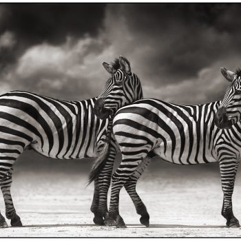 Nick Brandt, black and white nature photography, zebras, platinum print